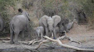 Afričtí sloni — Stock video