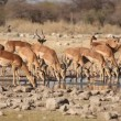 Stock Video: Impalantelopes at waterhole