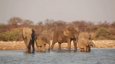Afričtí sloni pitné vody — Stock video