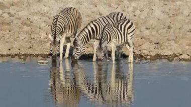 Plains Zebras drinking — Stock Video
