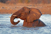 Olifant in water — Stockfoto