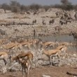 Stock Video: Etosha waterhole