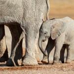 African elephant calf — Stock Photo #19359015