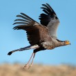 Secretary bird in flight — Stock Photo #19359037