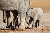 Cría de elefante africano — Foto de Stock