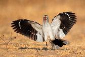 Red-billed hornbill landing — Stock Photo