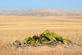 Welwitschia, Namib desert — Stock Photo
