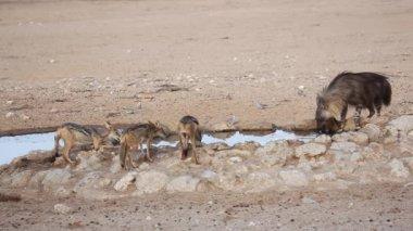 Brown hyena drinking water — Stock Video
