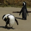 African penguins — Stock Video