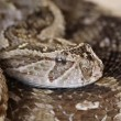 Defensive puff adder - Stock Photo