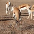 Stock Video: Springbok and bush