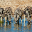 Plains Zebras drinking water — Stock Photo #20040387