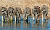 Plains zebra's drinking water — Stockfoto