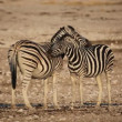 Plains Zebras grooming - Stock Photo