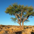 AfricAcacitree — Stock Photo #21271797