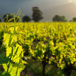 Vine leaves — Stockfoto