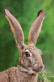 Scrub hare portrait — Stock Photo
