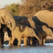 African elephants drinking water - Stock Photo