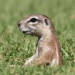 Alert ground squirrel - Stock Photo