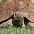 Leopard tortoise - Stock Photo