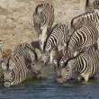 Plains Zebras drinking — Stock Video #21579987