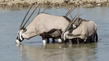 Gemsbok drinking water — Stock Video