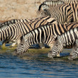 Plains Zebras drinking water — Stock Photo #21675425
