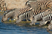 Plains zebra's drinking water — Stockfoto