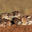 puff adder — Stock Photo