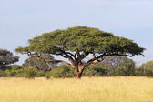 African Acacia tree — Stock Photo