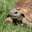 Leopard tortoise — Stock Video
