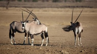 Gemsbok antelopes — Stock Video