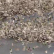 Stock Video: Red-billed Queleas