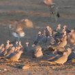 Black-backed Jackal hunting doves — Stock Video