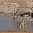 Antelopes at waterhole — Stock Video