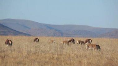 Grazende blesbok antilopen — Stockvideo