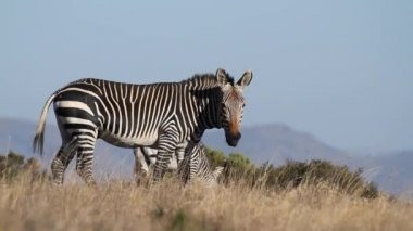 Cape Mountain Zebra — Stock Video