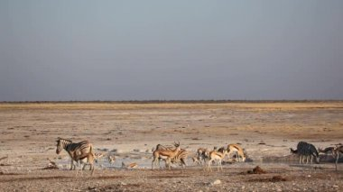 Etosha waterhole — Stock Video