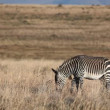Cape Mountain Zebras — Stock Video #23678393