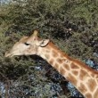 Feeding giraffe - Foto Stock