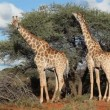 Feeding giraffes - Foto Stock