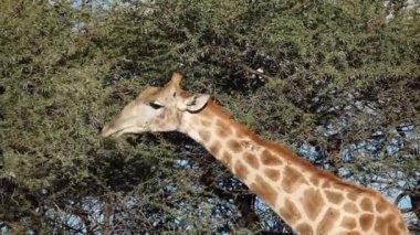 Feeding giraffe — Stock Video