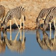 Plains Zebras drinking water — Stock Photo #23856825
