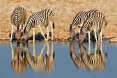 Plains Zebras drinking water — 图库照片