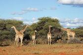 Zürafalar besleme — Stok fotoğraf
