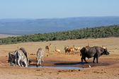 African wildlife at a waterhole — Stock Photo