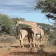 Stock Video: Fighting giraffes