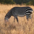 Cape Mountain Zebra — Stockvideo #25522241