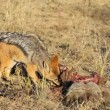 Scavenging black-backed Jackals - Stock Photo