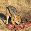 Stock Video: Scavenging black-backed Jackal